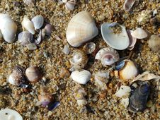 Free Seashell, Cockle, Macoma, Veneroida Royalty Free Stock Images - 118325389