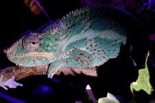 Free Chameleon, Iguania, Fauna, Organism Royalty Free Stock Photo - 118325425