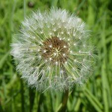 Free Dandelion, Flower, Flora, Plant Stock Photography - 118325472
