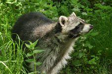 Free Raccoon, Procyonidae, Fauna, Mammal Stock Photography - 118325512