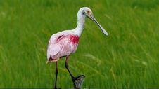 Free Bird, Ecosystem, Spoonbill, Beak Stock Photos - 118325803