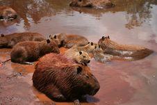 Free Beaver, Capybara, Fauna, Mammal Stock Image - 118325811