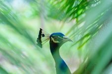 Free Close-up Photography Of Blue Peacock Royalty Free Stock Photo - 118386145