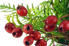 Free Berries Of A Wood Hawthorn Stock Image - 11849351