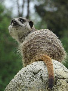 Free Meerkat, Mammal, Fauna, Terrestrial Animal Royalty Free Stock Photo - 118429915
