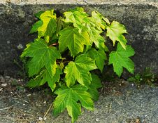 Free Plant, Leaf, Tree, Maple Tree Stock Photos - 118429963