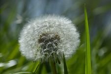 Free Flower, Dandelion, Flora, Plant Royalty Free Stock Image - 118429996