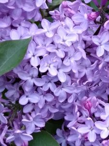 Free Flower, Violet, Purple, Lilac Royalty Free Stock Images - 118430109