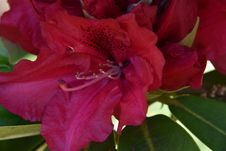Free Flower, Plant, Flowering Plant, Azalea Stock Photos - 118430203