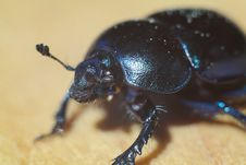Free Insect, Dung Beetle, Beetle, Invertebrate Royalty Free Stock Image - 118430306