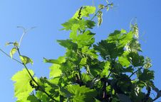 Free Grapevine Family, Leaf, Plant, Grape Leaves Stock Photography - 118430362