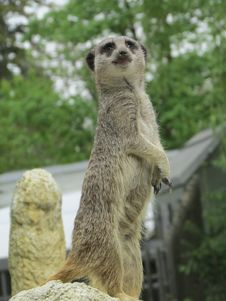 Free Meerkat, Mammal, Fauna, Terrestrial Animal Royalty Free Stock Photo - 118430415