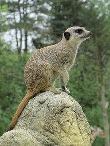 Free Meerkat, Mammal, Fauna, Terrestrial Animal Royalty Free Stock Images - 118430559