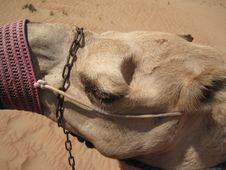 Free Camel, Camel Like Mammal, Arabian Camel, Snout Royalty Free Stock Image - 118430646