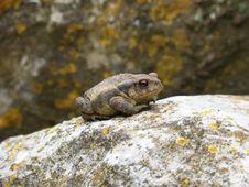 Free Toad, Amphibian, Frog, Fauna Royalty Free Stock Image - 118430716