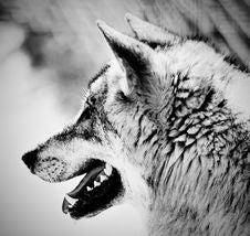 Free Wildlife, Black And White, Face, Wolf Stock Photos - 118430793