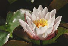 Free White Petaled Lotus Royalty Free Stock Photography - 118464677