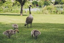 Free Photo Of Four Goose On Green Grasses Stock Photography - 118464762