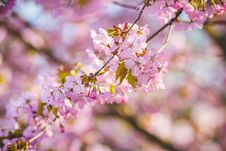 Free Cherry Blossoms Stock Images - 118464844