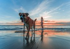Free Woman Wearing Bikini Walking On Beach Shore With Adult Brown And White Boxer Dog During Sunset Stock Photo - 118545950