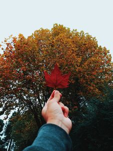 Free Person Holding Red Maple Leaf Stock Photos - 118545953