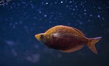 Free Orange Cichlid Fish In Middle Of Blue Water Stock Photography - 118545972