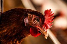 Free Beak, Bird, Chicken Royalty Free Stock Images - 118758509