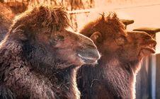 Free Fauna, Camel Like Mammal, Camel, Bison Royalty Free Stock Photo - 118778835