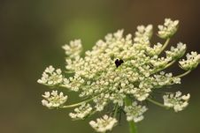 Free Cow Parsley, Apiales, Flora, Parsley Family Stock Images - 118779074