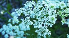 Free Cow Parsley, Flower, Plant, Apiales Royalty Free Stock Image - 118779136