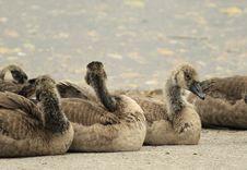 Free Fauna, Water Bird, Ducks Geese And Swans, Beak Stock Photo - 118779200
