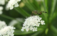 Free Cow Parsley, Parsley Family, Insect, Nectar Stock Photos - 118779223