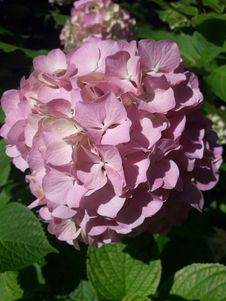 Free Flower, Plant, Flowering Plant, Hydrangea Royalty Free Stock Images - 118779419