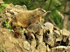 Free Mammal, Fauna, Marmot, Terrestrial Animal Stock Photography - 118779442