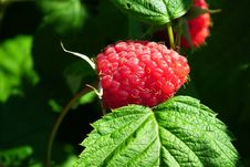 Free Raspberry, West Indian Raspberry, Berry, Tayberry Royalty Free Stock Photography - 118779577