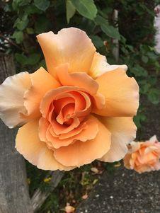 Free Rose, Flower, Rose Family, Floribunda Royalty Free Stock Images - 118779769
