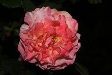 Free Flower, Pink, Floribunda, Flowering Plant Stock Photos - 118779923