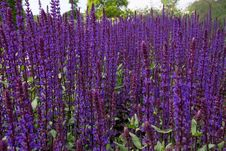 Free Plant, Common Sage, Purple, English Lavender Royalty Free Stock Photography - 118779937