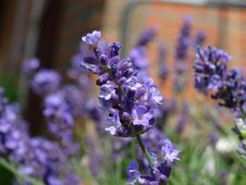 Free Flower, English Lavender, Plant, Lavender Royalty Free Stock Image - 118779956
