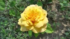 Free Flower, Yellow, Rose Family, Rose Stock Photography - 118780402