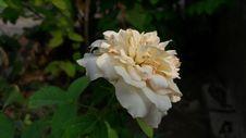Free Flower, Rose Family, Rose, White Royalty Free Stock Image - 118780446
