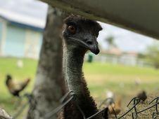 Free Ostrich, Emu, Ratite, Bird Royalty Free Stock Images - 118871099