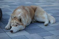 Free Dog, Dog Breed, Dog Like Mammal, Dog Breed Group Stock Photography - 118871322