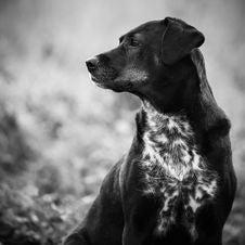 Free Dog, Black, Black And White, Dog Breed Royalty Free Stock Image - 118871326