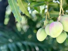 Free Fruit, Fruit Tree, Branch, Produce Stock Image - 118871441