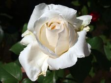 Free Rose, Flower, Rose Family, White Royalty Free Stock Photography - 118871477