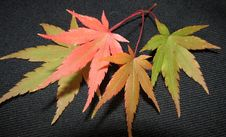 Free Leaf, Plant, Maple Leaf, Tree Royalty Free Stock Image - 118871606