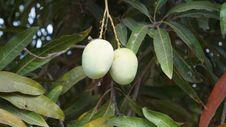Free Plant, Fruit Tree, Flora, Fruit Stock Photography - 118871742