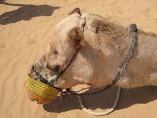 Free Camel, Camel Like Mammal, Arabian Camel, Snout Stock Photo - 118871950