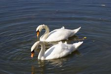 Free Bird, Swan, Water Bird, Ducks Geese And Swans Royalty Free Stock Photo - 118872515